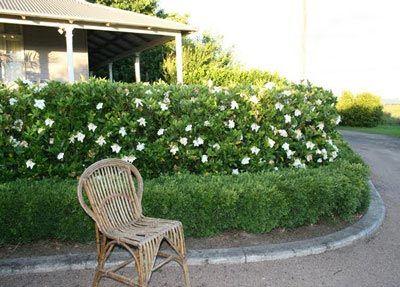 August Beauty Gardenia Shrub August Beauty Gardenia Garden Hedges Outdoor Patio Designs