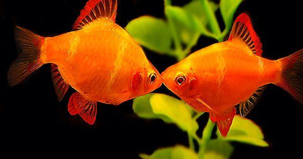 Gold Tiger Barb Featured Item Gold Tiger Barb Fish Petfish Aquarium Aquariums Freshwater Aquarium Fish Tropical Freshwater Fish Tropical Fish Tanks