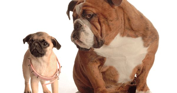 3 95 Bulldog And Pug Puppy 3d Postcard Lenticular Greeting Card Who S The Boss Ebay Collectibles Dog Breeds Dogs Dogs Puppies