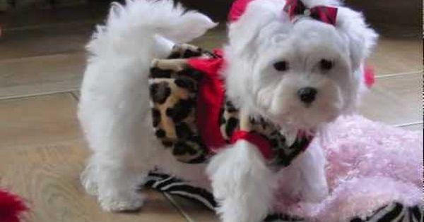 Teacup Maltese Adorable Loving Lori Dallas Texas Maltese For Sale Teacup Puppies Maltese Maltese Puppy Teacup Maltese