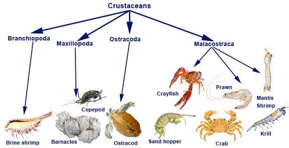 Bil 106 Lecture 16 Crustaceans Animal Classification For Kids Animal Classification