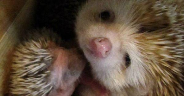 new born hedgie with mom hedgie hedghog baby animal cute pinterest igel natur. Black Bedroom Furniture Sets. Home Design Ideas