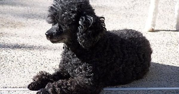 Black Toy Poodle Full Grown Google Search Minature Poodle Teacup Poodle Full Grown Mini Poodles