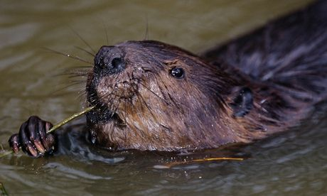 Stop The Control Freaks Who Want To Capture England S Wild Beavers Food Politics Animal Facts Healthy Veggies