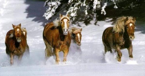 Free Snow Screensaver Horse Free Snow Horses Screensaver Screensavers Download Snow Horses Horses In Snow Beautiful Horses Wild Horses