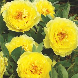 Itoh Peony Yellow Crown Itoh Peonies Yellow Peonies Flowers