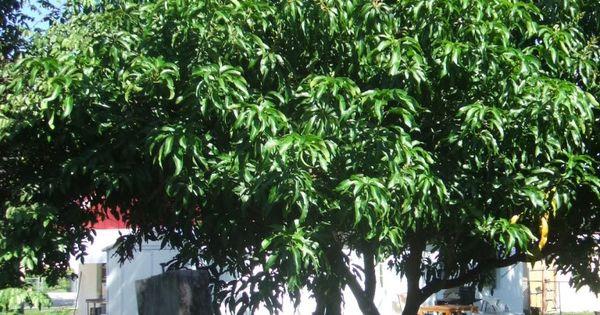 Dwarf Avocado Trees California – Home Remodeling