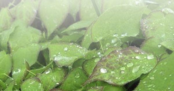 اضرار عشبة العنزة Brussel Sprout Brussel Sprouts