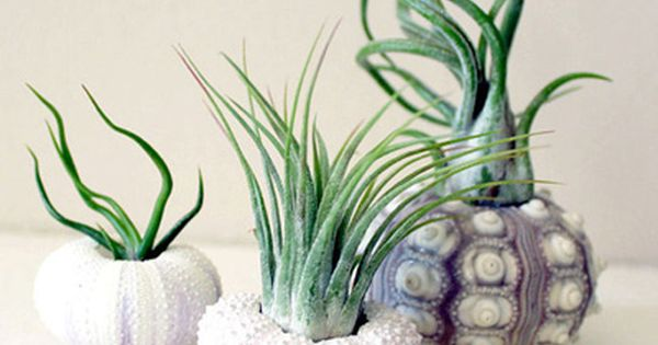 Sea urchin shell air plant container