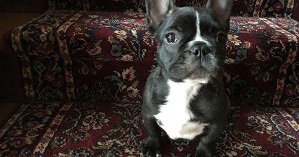 French Bulldog Puppy For Sale In Alton Il Adn 20903 On
