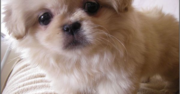 Best Small Dogs For Anxiety Therapy