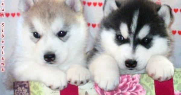 Baby Huskies With Blue Eyes Blue Eyes Siberian Husky Puppies For Sale Husky Puppies For Sale Husky Puppy Baby Huskies