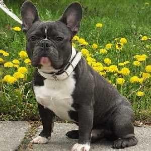 Best Small Dogs For Apartment Living Bulldog Breeds French Bulldog Breed Bulldog