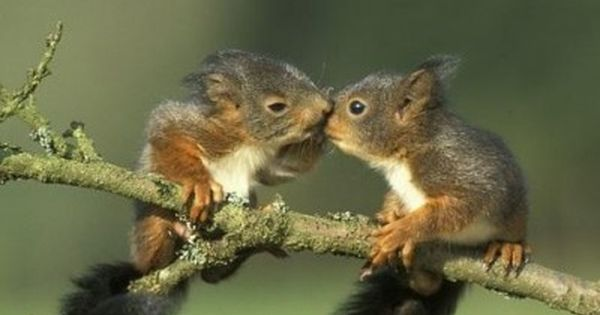 Two Baby Squirrels Balancing On A Tree Limb Kissing Yea Total