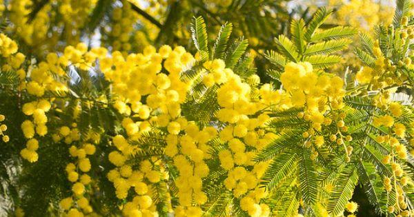 Mandelieu la napoule capitale du mimosa france jardin d - Mandelieu la napoule office du tourisme ...