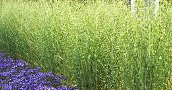 miscanthus sinensis 39 gracillimus 39 winterhart sichtschutz gang garten pinterest. Black Bedroom Furniture Sets. Home Design Ideas