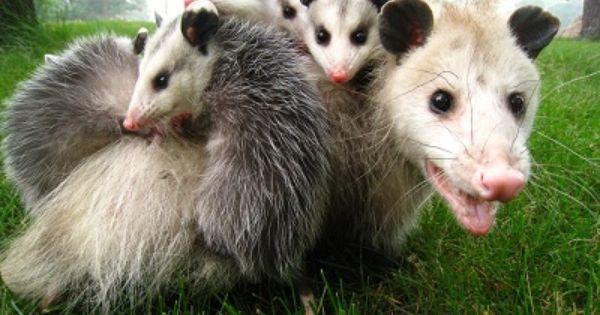 How To Get Rid Of A Possum In Backyard - BACKYARD HOME