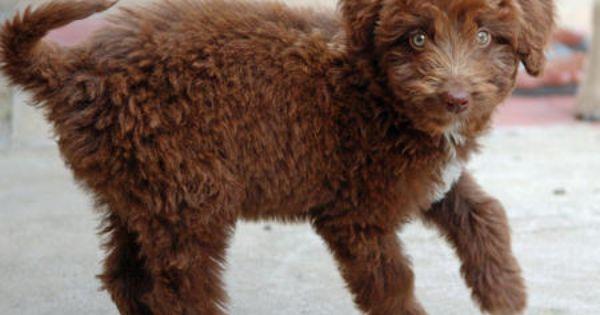 Labrador Retriever For Pet Adoption Labrador Puppy Labrador Puppies For Sale Yellow Labrador Puppy