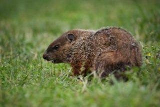 Homemade Groundhog Repellent Hunker Groundhog Repellant Get