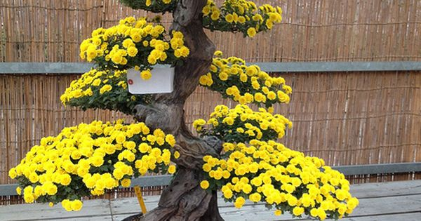 Flower show in Nagoya castle. Large yellow flowering Bonsai. Moss bed with