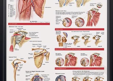 Anatomy and injuries of the shoulder anatomy poster for Decor vein tendonitis