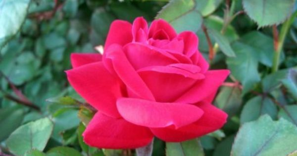 Roses In Garden: Care Of Knock Out Roses: Tips For Growing Knock Out Roses