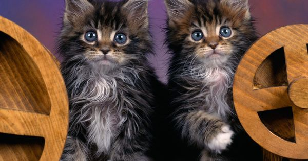 Maine Coon Cats - Bing Images