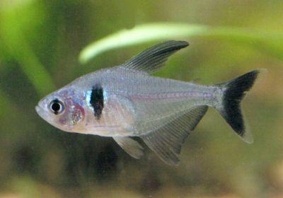 Black Phantom Tetra Tetra Fish Aquarium Fish Tropical Fish