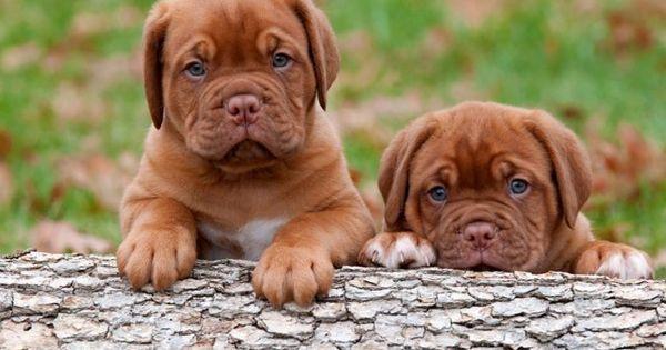 Pin By Susan Allen On Cute Animals Mastiff Puppies Bordeaux Dog Puppies