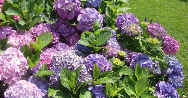 Hortensias flores pinterest hortensias jardines y for Cuidar hortensias exterior