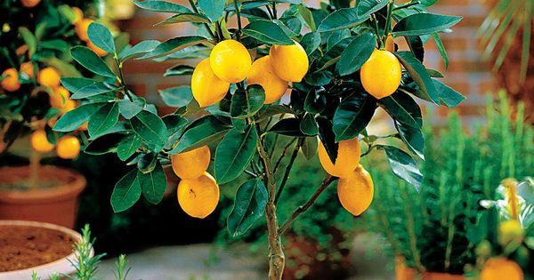 Claves para cultivar rboles frutales en macetas - Plantar arboles frutales ...