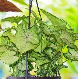 Cream Allusion Nephthytis Syngonium Podophyllum Cream Allusion An Especially Compact Variety Cream Allusion Nephthytis Has Arrowhead Plant Plant Care Plants