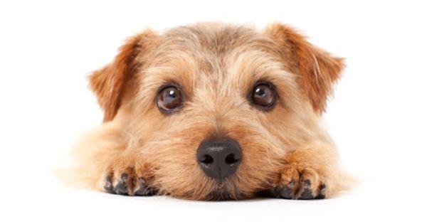 Teaching Children Respect To The World Of Animals Norfolk Terrier Puppies Norfolk Terrier Terrier Puppies