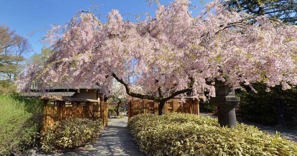 Cherry Blossoms At Bbg Brooklyn Botanic Garden Flowering Cherry Tree Botanical Gardens Cherry Blossom Season