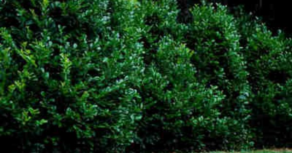 English Laurel Evergreen Large Shrub To Small Tree Grows