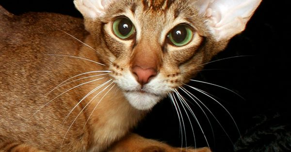 Banjo, He Is A Cinnamon Tabby Oriental Shorthair From Our
