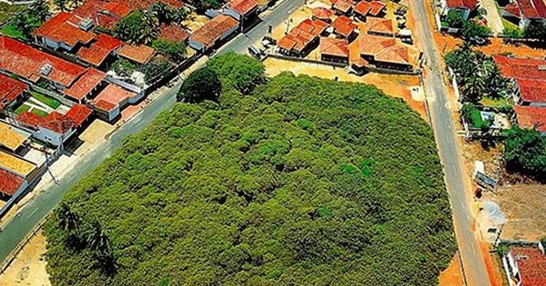 Crazy big cashew tree occupying 80 000 square feet of land How big is 600 square feet