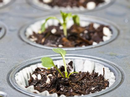 Seeds started in a cupcake tin, perfect. Once plants have germinated place
