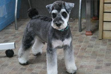 Asian Artistry Schnauzer Grooming Dog Grooming Schnauzer