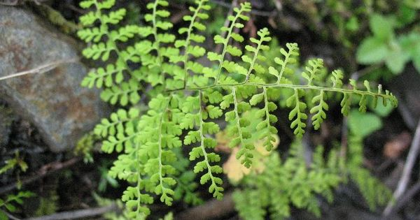 Cystopteris moupinensis plants pinterest for Terr root meaning