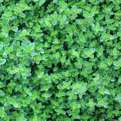 Creeping Thyme For Kitchen Herb Garden Creeping Thyme Herbalism Herbs