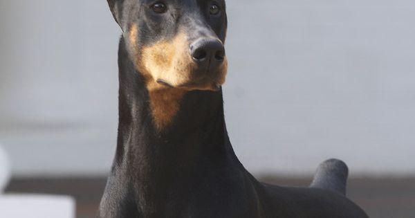Champion Doberman Pinscher Fifi, who is among the favorites at the Westminster