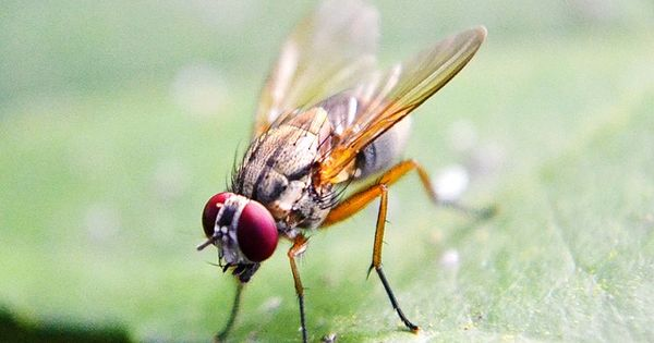 Free Pictures Flying 692 Images Found Fruit Flies Homemade Fruit Fly Trap How To Attract Hummingbirds