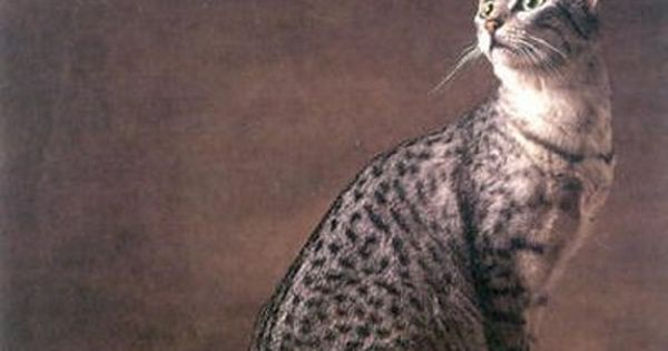 Your Pet Cats Egyptian Ancestors Egyptian Mau Pets Cat Facts
