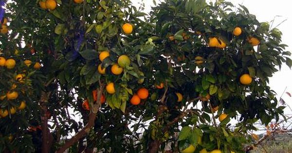 A Grafted Citrus Tree With Six Different Fruits Grafting Plants Grafting Fruit Trees Bonsai Tree Types