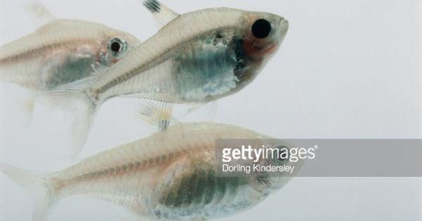 X Ray Tetra Group Of Three Fish Underwater Tetra Fish Tetra Underwater