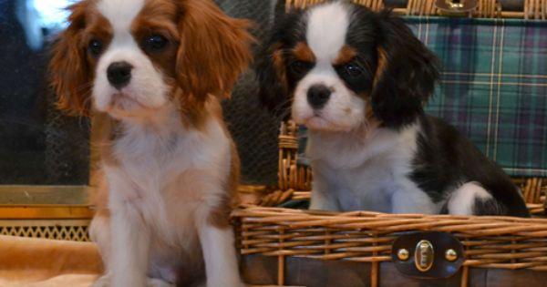 Canyoncrest Cavalier King Charles Spaniel Puppies Dallas Fort Worth Te Cavalier King Charles Dog King Charles Cavalier Spaniel Puppy King Charles Dog