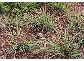 Mountain Rose Herbs Lemongrass Perennial Bunching Grass Native To India And Se Asia Often Grown As An Indoor Plant Or Summer Annual In The Mountain Rose Herbs