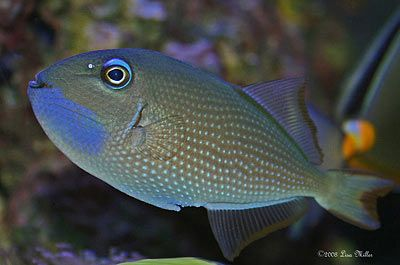 Blue Throat Triggerfish Xanthichthys Auromarginatus Photo By Sunfish11 Via Reef Keeping Grow Up To 11 8 Inches Lo Reef Aquarium Marine Fish Nano Aquarium
