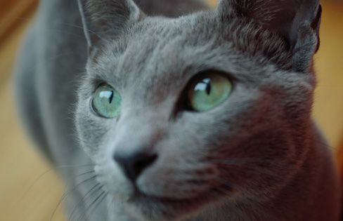Gray Cat Green Eyes Grey Cats Cats Chartreux Cat